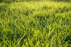 Fresh green grass on a lawn Royalty Free Stock Images