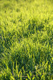 Fresh green grass on a lawn Royalty Free Stock Image