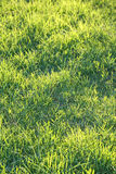 Fresh green grass on a lawn Stock Image