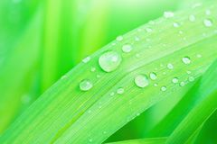Fresh Green Grass Leaf after Rain with Water Drops. Botanical Nature Background. Wallpaper Poster Template. Organic Cosmetics. Wellness Spa Ecology Protection Stock Photo