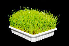 Fresh green grass Royalty Free Stock Image