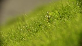 Fresh green grass on the meadow. Close up stock video