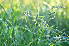 Fresh green grass on the meadow after the rain Stock Images