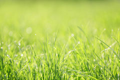 Fresh green grass with morning dew, closeup Stock Photo