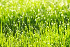 Fresh green grass with morning dew drops. stock photography