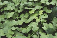 Fresh green grass, mustard, microgreens, closeup view. Stock Photos