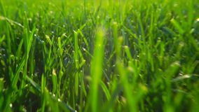 Fresh green grass natural background texture, lawn for the background. Shine of sunlight.  stock video