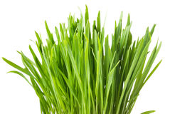 Fresh green grass, oat sprouts, close up, isolated on white back Stock Photo