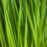 Fresh green grass, oat sprouts, close up Royalty Free Stock Photo