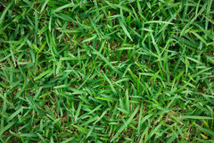 Fresh green grass for pattern and background. It is Fresh green grass for pattern and background Stock Image