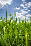 Fresh green grass and perfect sky background Stock Images