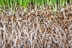 Fresh green grass root growing vermiculite Stock Photo