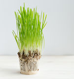 Fresh green grass showing roots. Healthcare and environmental protection concept Stock Photo