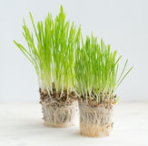 Fresh green grass showing roots. Healthcare and environmental protection concept Royalty Free Stock Photography