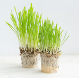 Fresh green grass showing roots Stock Photos