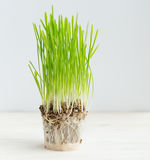 Fresh green grass showing roots. Healthcare and environmental protection concept Royalty Free Stock Images