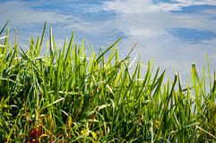 Fresh green grass with a sky and cloud reflection. Fresh green grass with a blue sky with white clouds reflection in the calm water of a lake or pond Royalty Free Stock Photography