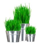 Fresh green grass in small metal buckets isolated on white Royalty Free Stock Photos