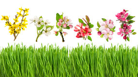 Fresh green grass and spring flowers. Blossoms of apple cherry Royalty Free Stock Image