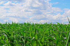 Fresh green grass Royalty Free Stock Photos