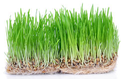 Fresh green grass. Sprouted grains with roots isolated on white background Royalty Free Stock Image