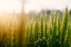 Fresh green grass in the summer field in the warm sunlight background royalty free stock photo