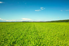 Fresh green grass on sunny field, blue sky Royalty Free Stock Photography