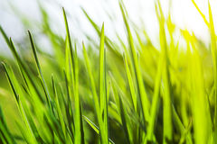 Fresh green grass in sunshine. Fresh green grass with water droplet in sunshine Royalty Free Stock Photography