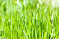 Fresh green grass in sunshine Royalty Free Stock Image