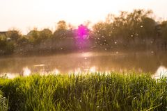 Fresh green grass in the warm light against the background of the river and sunset, midges fly.  stock photos