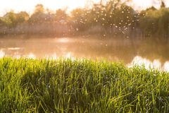 Fresh green grass in the warm light against the background of the river and sunset, midges fly.  stock image