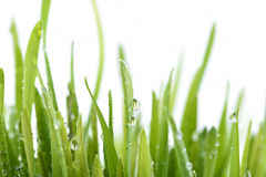 Fresh green grass with water drop. On white background royalty free stock images