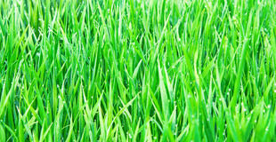 Fresh green grass. Stock Images
