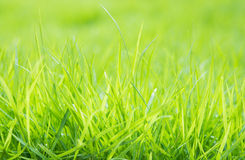 Fresh green grass with water droplet on sunshine Royalty Free Stock Images