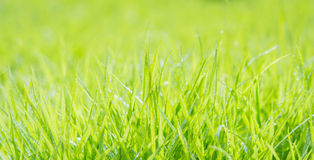 Fresh green grass with water droplet on sunshine Royalty Free Stock Photography
