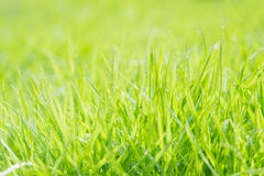 Fresh green grass with water droplet on sunshine Stock Image