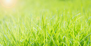 Fresh green grass with water droplet on sunshine Royalty Free Stock Photo