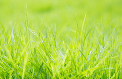 Fresh green grass with water droplet on sunshine Stock Images