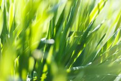 Fresh green grass with water droplet in sunshine Stock Images