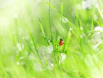 Fresh green grass with water droplet Royalty Free Stock Image