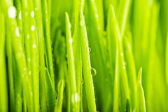 Fresh green grass with water droplet in sunshine Royalty Free Stock Photography