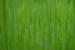 Fresh green grass with water drops close-up, close up rice with water drop Stock Photography