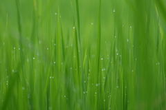 Fresh green grass with water drops close-up, close up rice with water drop Royalty Free Stock Photo