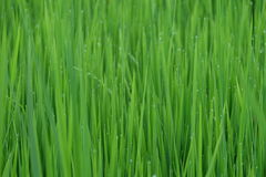 Fresh green grass with water drops close-up, close up rice with water drop Royalty Free Stock Photography