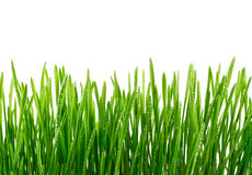 Fresh Green Grass with water drops Isolated on White Background Stock Photo