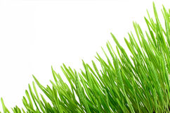 Fresh Green Grass with water drops Isolated on White Background Stock Images