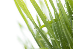 Fresh green grass with water drops isolated on white. With copy space Royalty Free Stock Photography