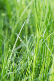 Fresh green grass with water drops Royalty Free Stock Images