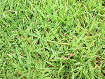 Fresh green grass with water drops Royalty Free Stock Image