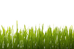 Fresh Green grass and water drops on white background Stock Images